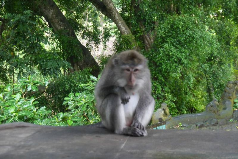 Macaque at the Monkey Forest. Ubud
