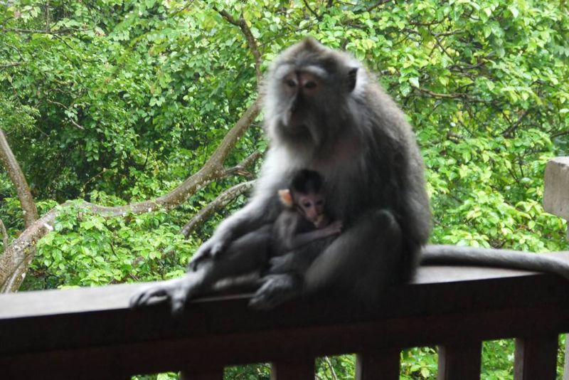 Mother and Baby Monkey at the Ubud Monkey Forest