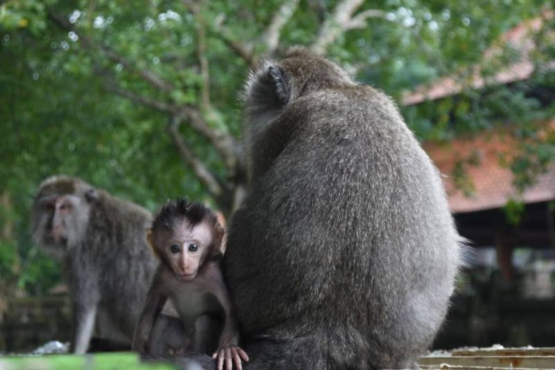 Baby Monkey at the Monkey Forest in Ubud