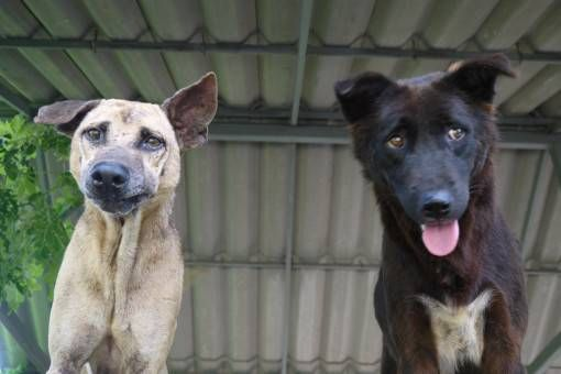 Two Rescue Dogs at the Elephant Nature Park, Thailand