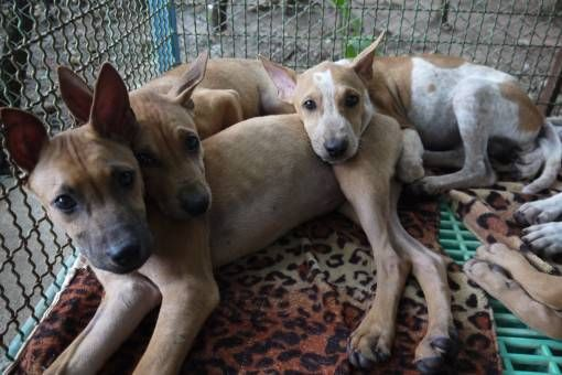 Puppies at the Dog Rescue Project, Thailand