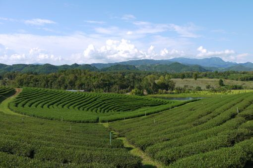 Choui Fong Tea Plantation in Mae Salong, Thailand