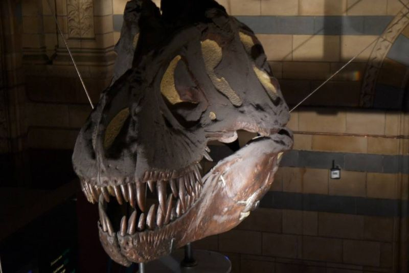 T-Rex Skull at the Natural History Museum