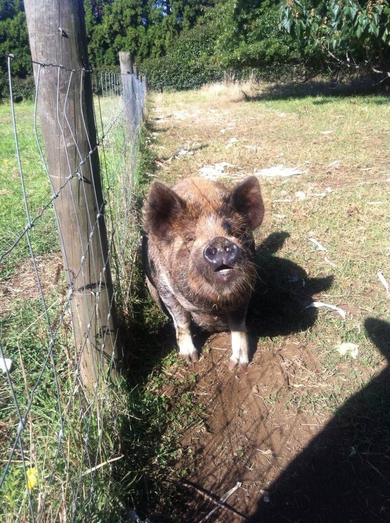 Kerikeri Farm Hostel's Pig