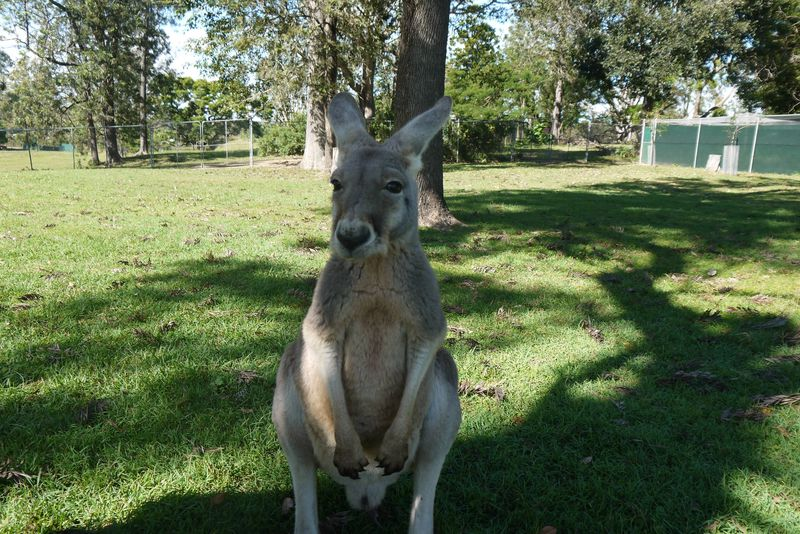 Kangaroo at Lone Pine Koala Sanctuary