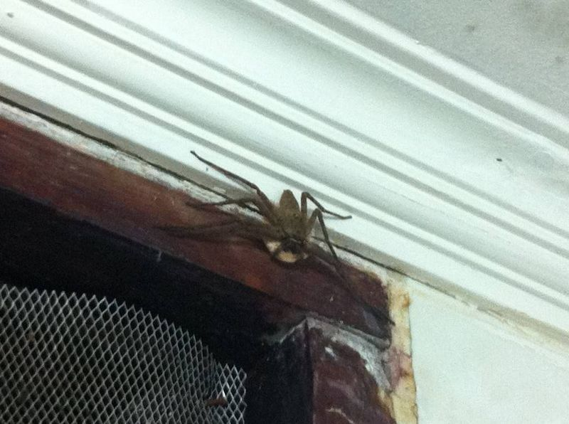 Giant Spider in Jakarta, Indonesia