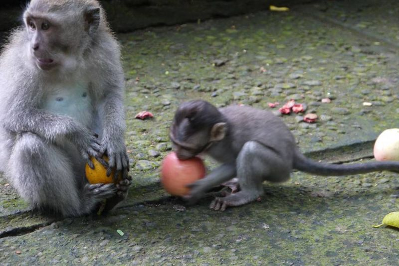 Monkeys Eating Fruit at the Monkey Forest