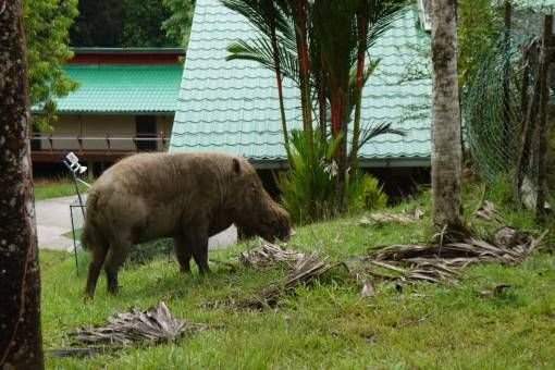 Bearded Pig in Danum Valley, Borneo