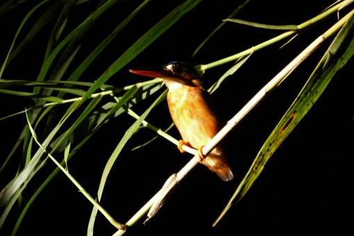 Kingfisher at Night, Kinabatangan