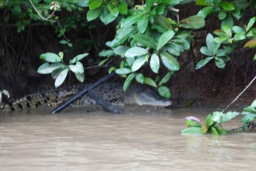 Crocodile on the Kinabatangan River