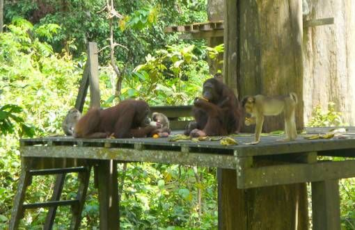 Orangutans at Sepilok Rehabilition Centre