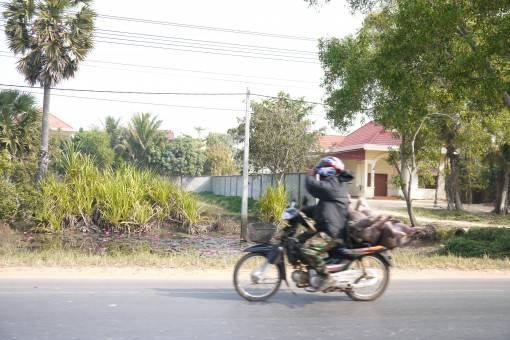 Pigs on a Motorbike in Cambodia