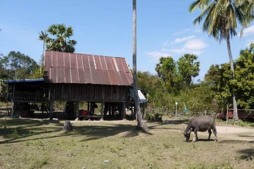 Buffalo on Don Det, Laos