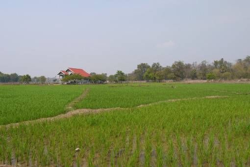 Rice Fields on Don Khong, Four Thousand Islands