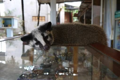 Weasel at a Coffee Factory in Vietnam