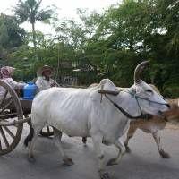 Some Cambodians still use the old methods