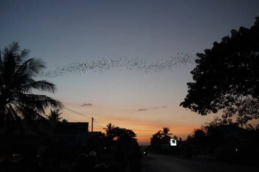 Bats Flying Across the Sky in Cambodia