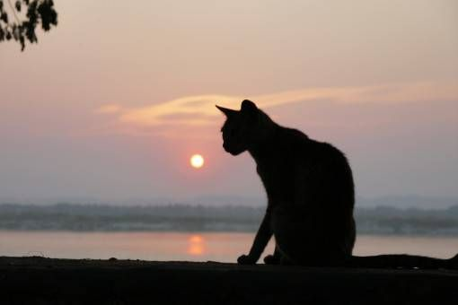 Irrawaddy Sunset Cat