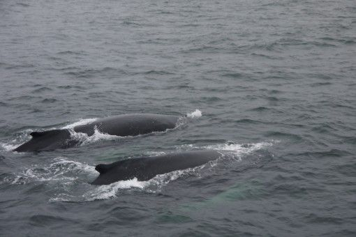 Humpback Whales at Geoffrey's Ledge