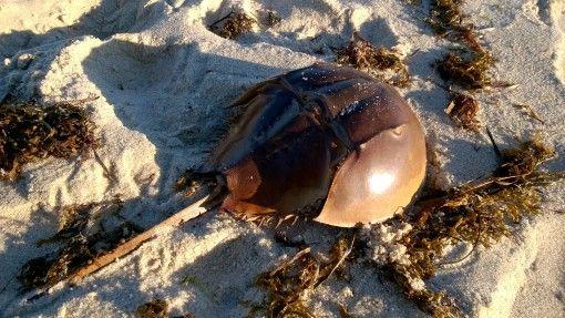 Horseshoe crab shell on the beach at Martha's Vineyard