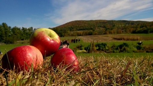 Apples at Billings Farm, Vermont