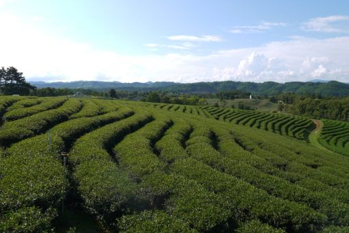 Tea Plantations in Mae Salong, northern Thailand