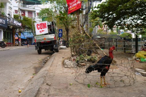 Caged rooster on the Hanoi streets - it's not this one's year