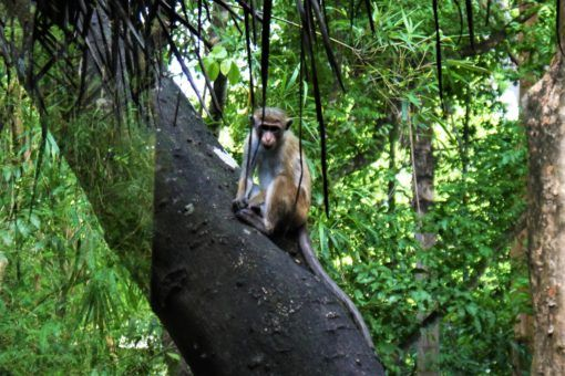 Our monkey neighbour at Diyabubula