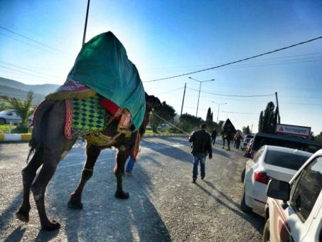 camel on Turkish roads