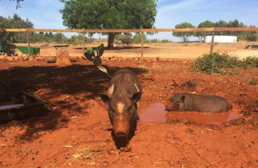 Pigs enjoying a mud bath in Portugal