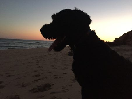 Roef, the Portuguese Water Dog on the beach at sunset