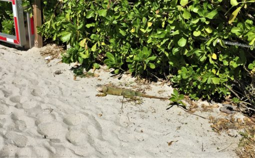 Iguana on Miami Beach, Florida