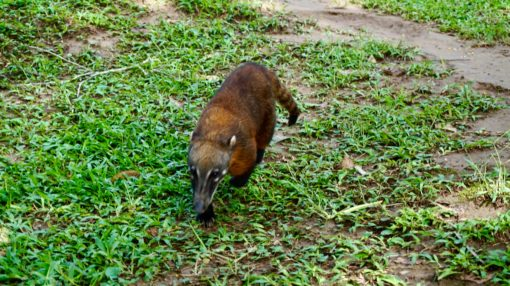 An Amazonian Coati in Madidi National Park, Bolivia