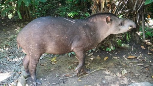 A tapir who regularly visits Madidi Jungle Ecolodge in Bolivia