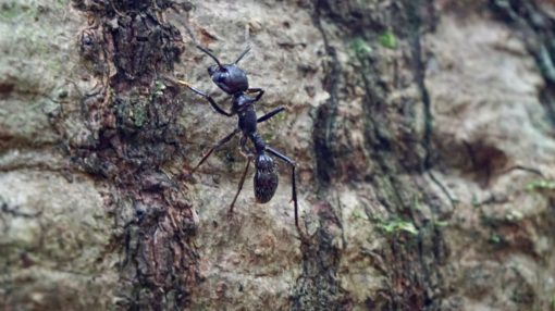 Bullet ant on a tree in the Amazon jungle in Madidi National Park, Bolivia
