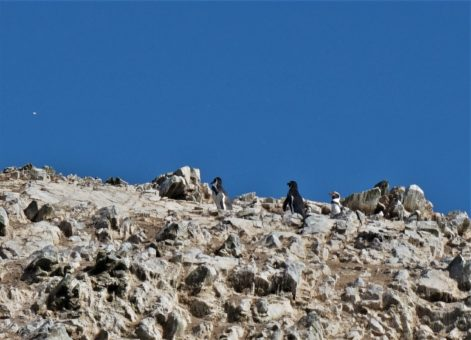 Humboldt Penguins on the Ballestas Islands, Peru