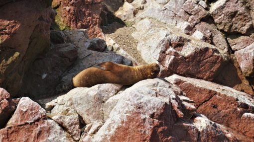 Sea lion basking on a rock in the Ballestas Islands, Peru