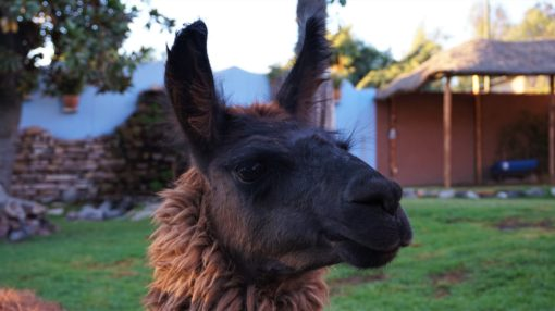 An alpaca from Alpaca World, Arequipa, Peru