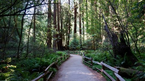 Forested trail in the Muir Woods, California