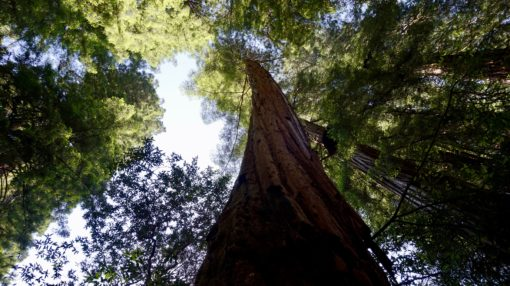 Giant Redwood tree in the Muir Woods in California