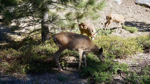 Wild deer in Yosemite National Park, California