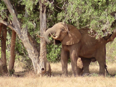 African Elephant on Safari