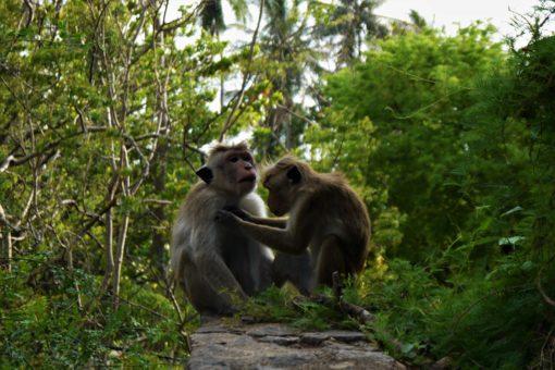Monkeys grooming each other in Sri Lanka