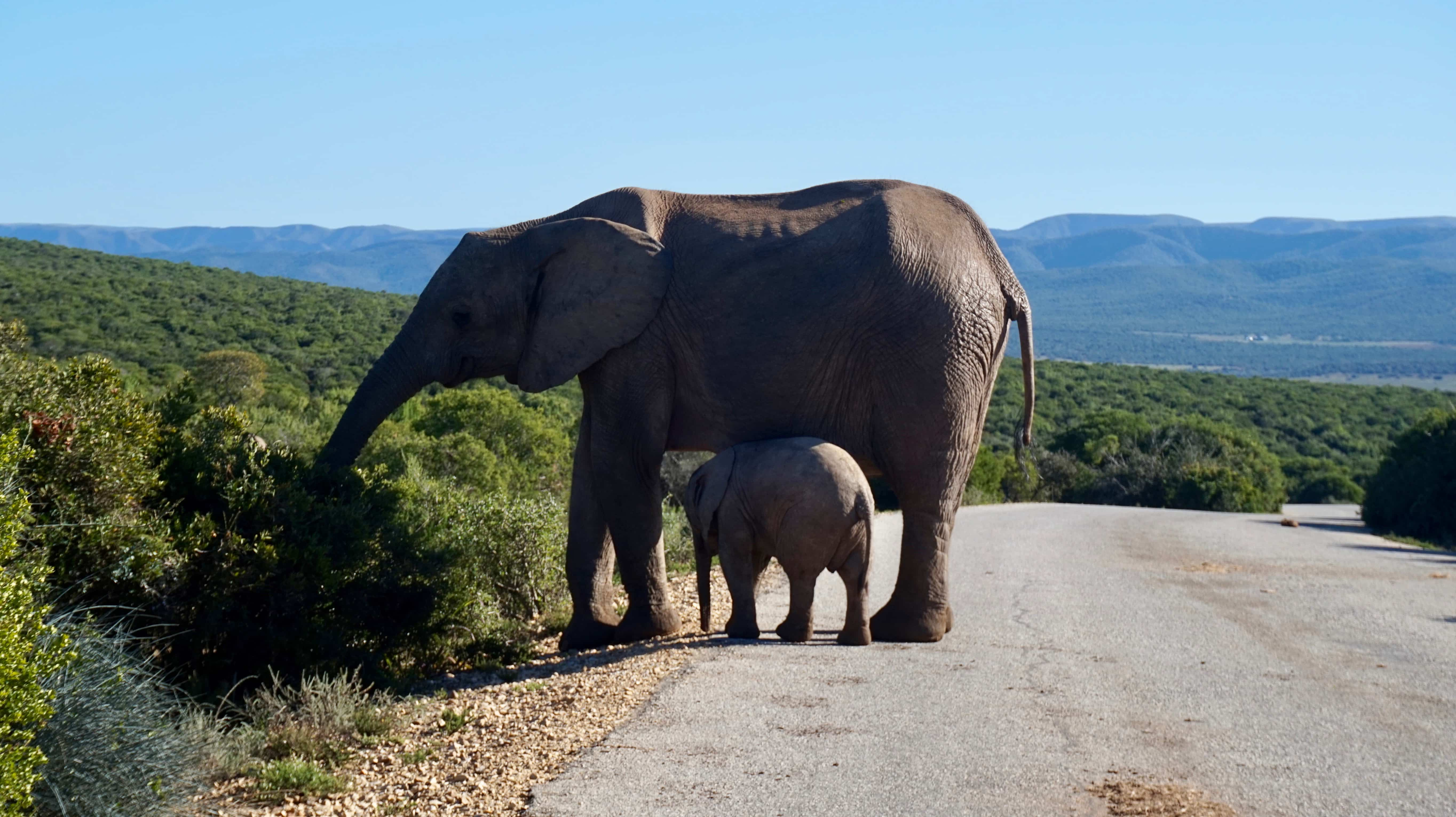 Mother and baby elephant on the road at Addo Elephant National Park