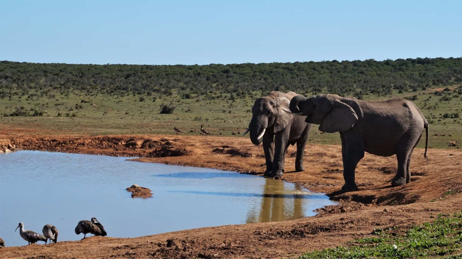 Elephants at Hapoor Dam, Addo Elephant National Park