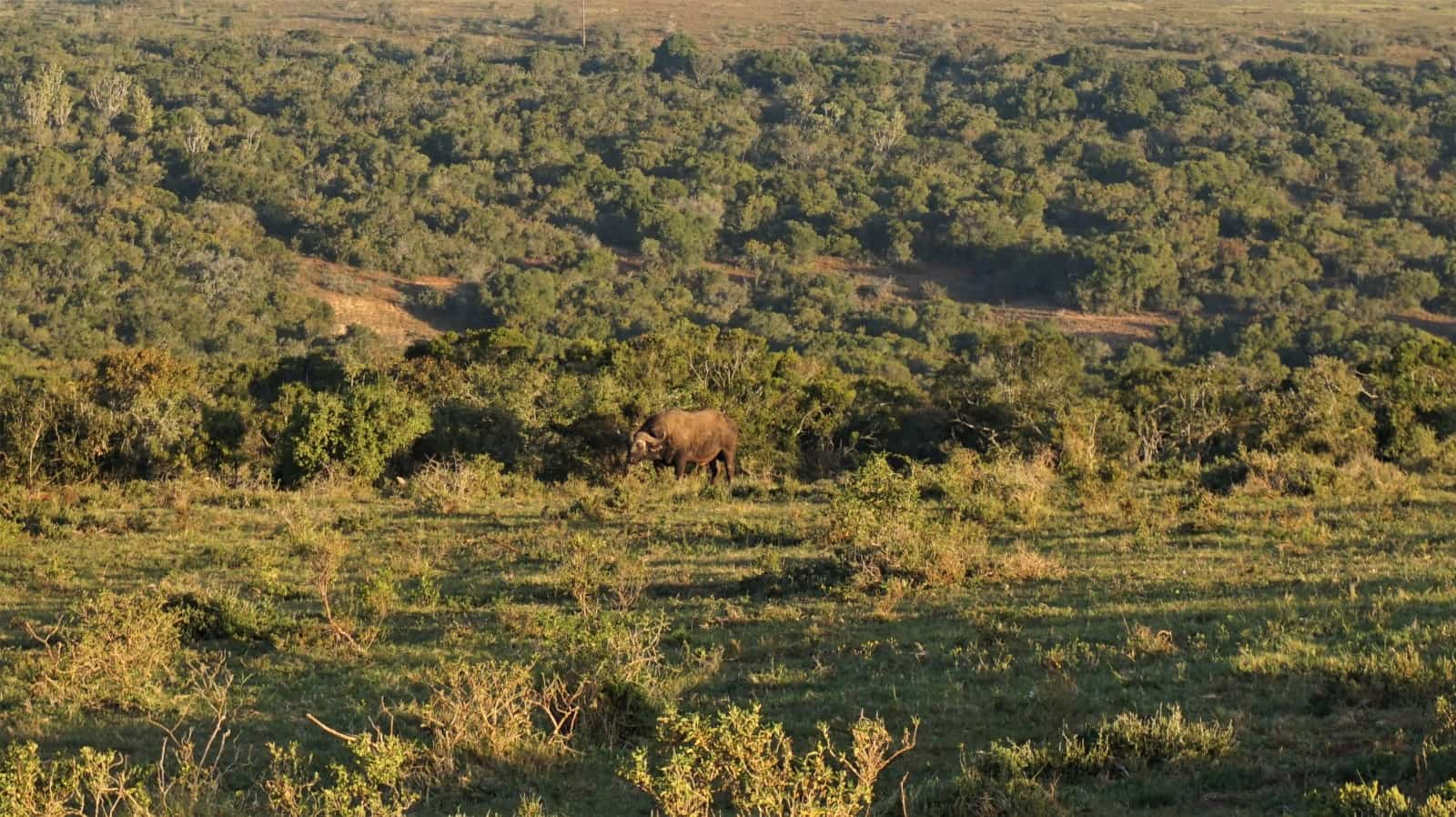 Can you spot the buffalo? Addo Elephant National Park