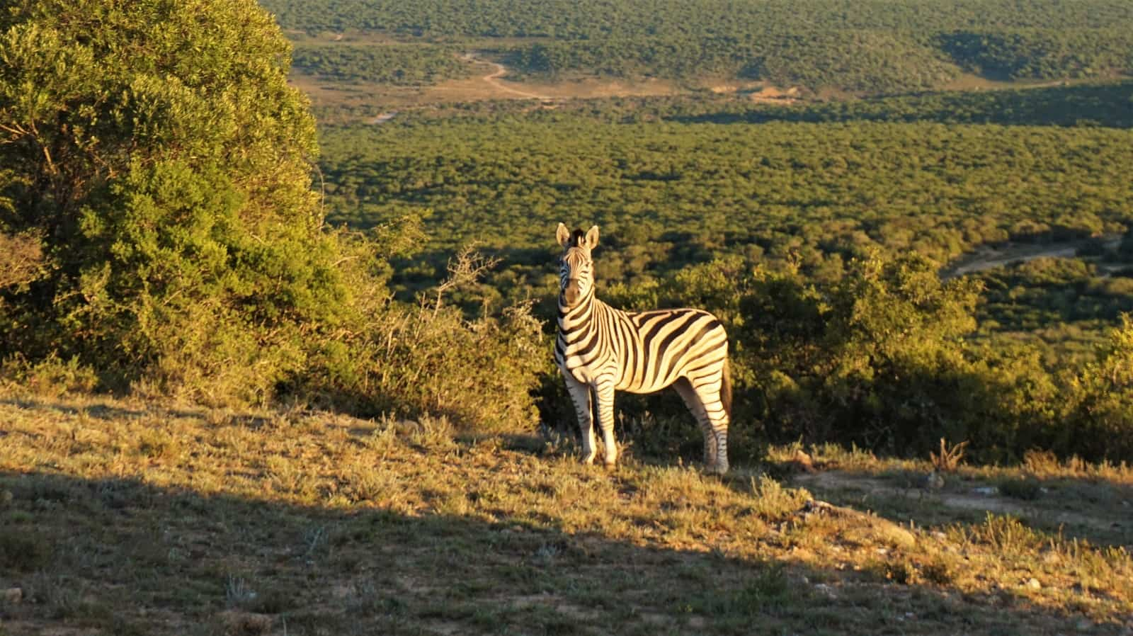 Zebra at Addo Elephant National Park