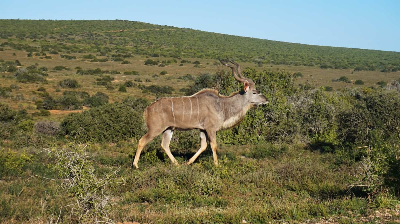 Adult male kudu at Addo Elephant National Park