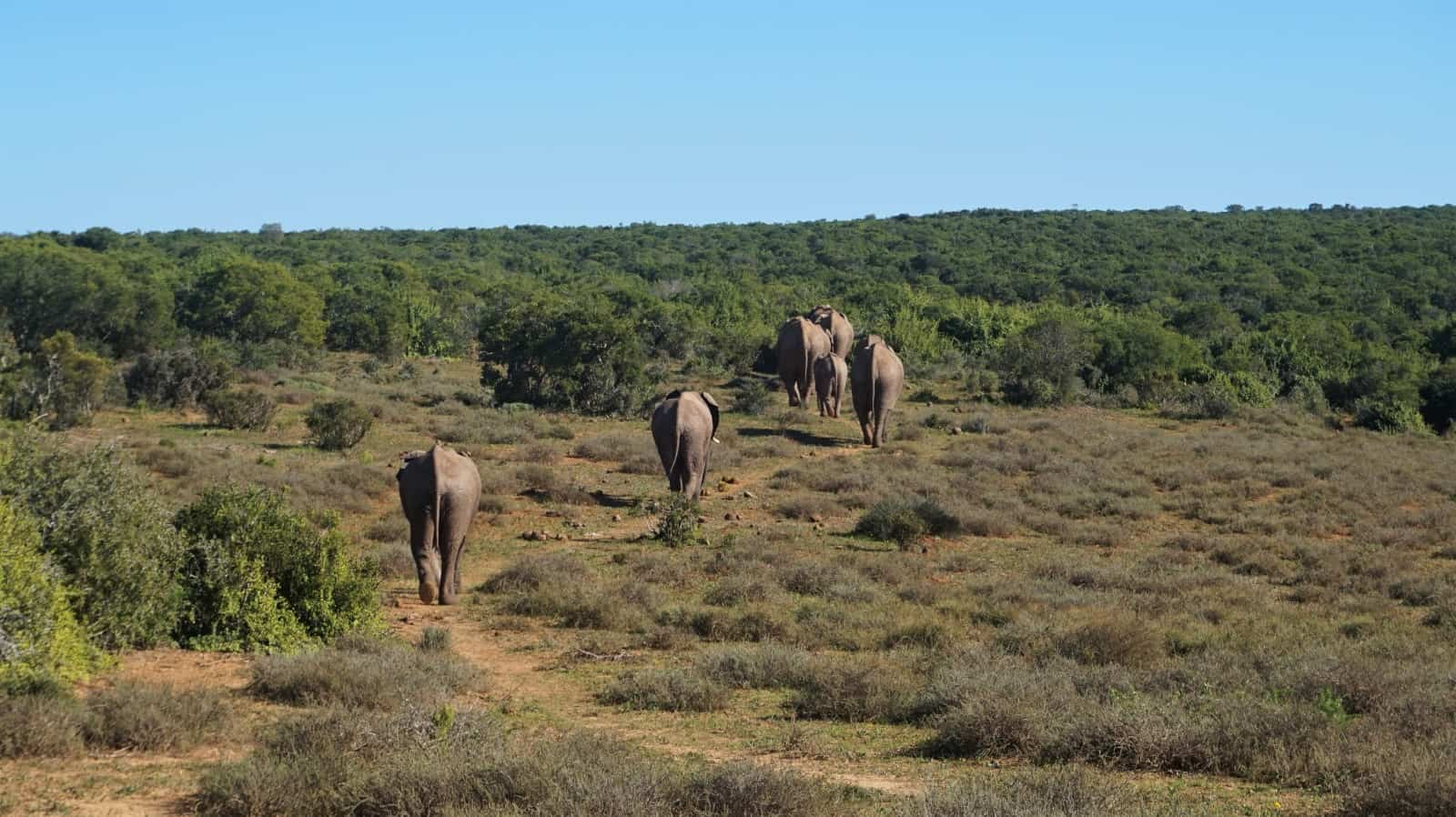 African elephants walking into the bush in Addo Elephant National Park, South Africa