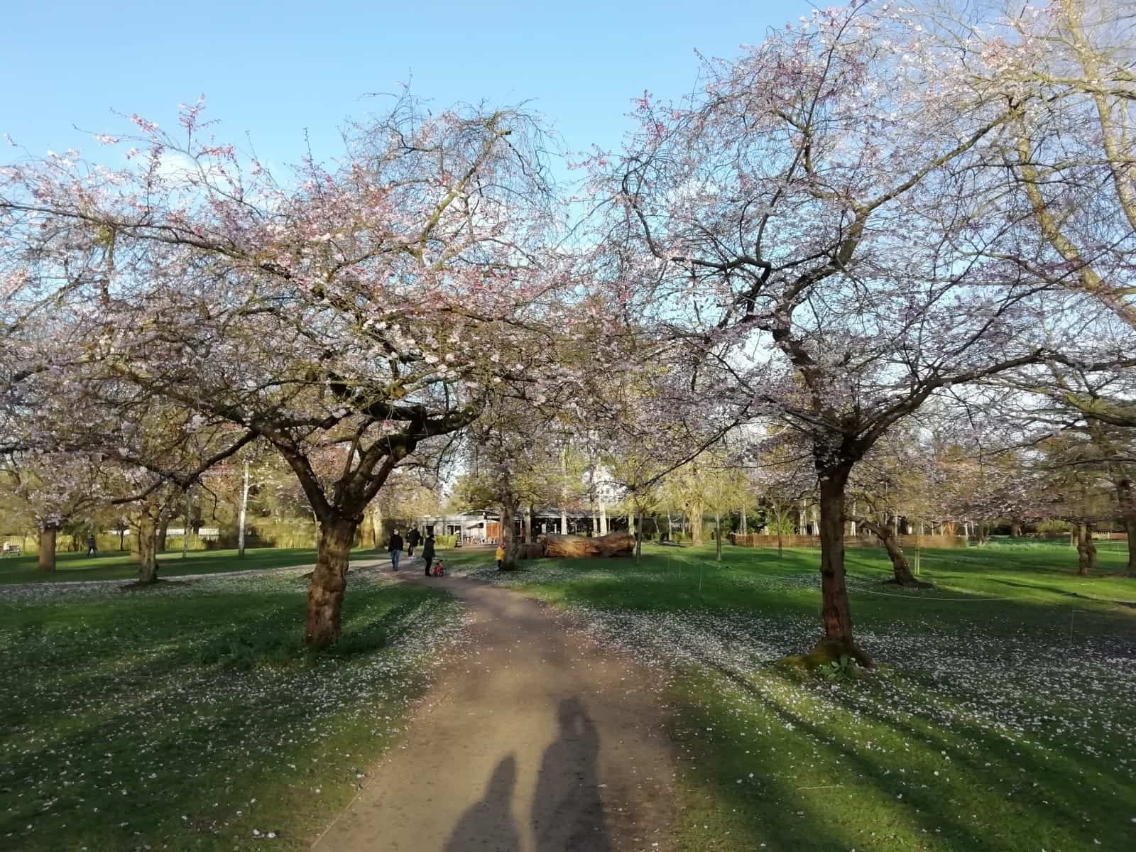Blossom trees in Bushy Park, London